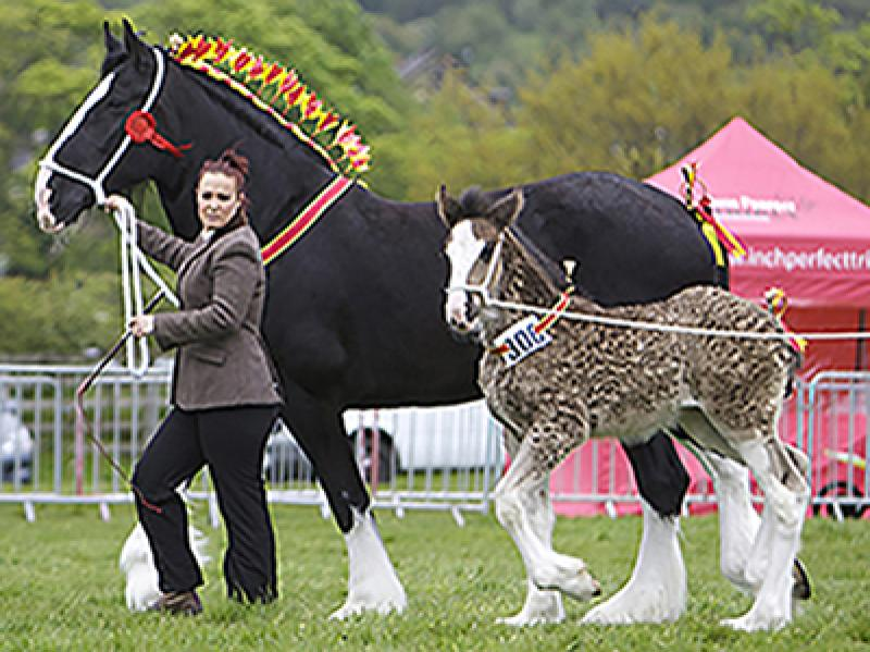 Shire Horse & Foal