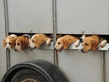 Hounds & Beagles